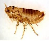 Flea - Parasite Control